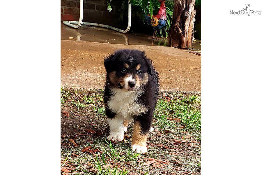 Max Australian Shepherd puppy for sale near Dallas / Fort
