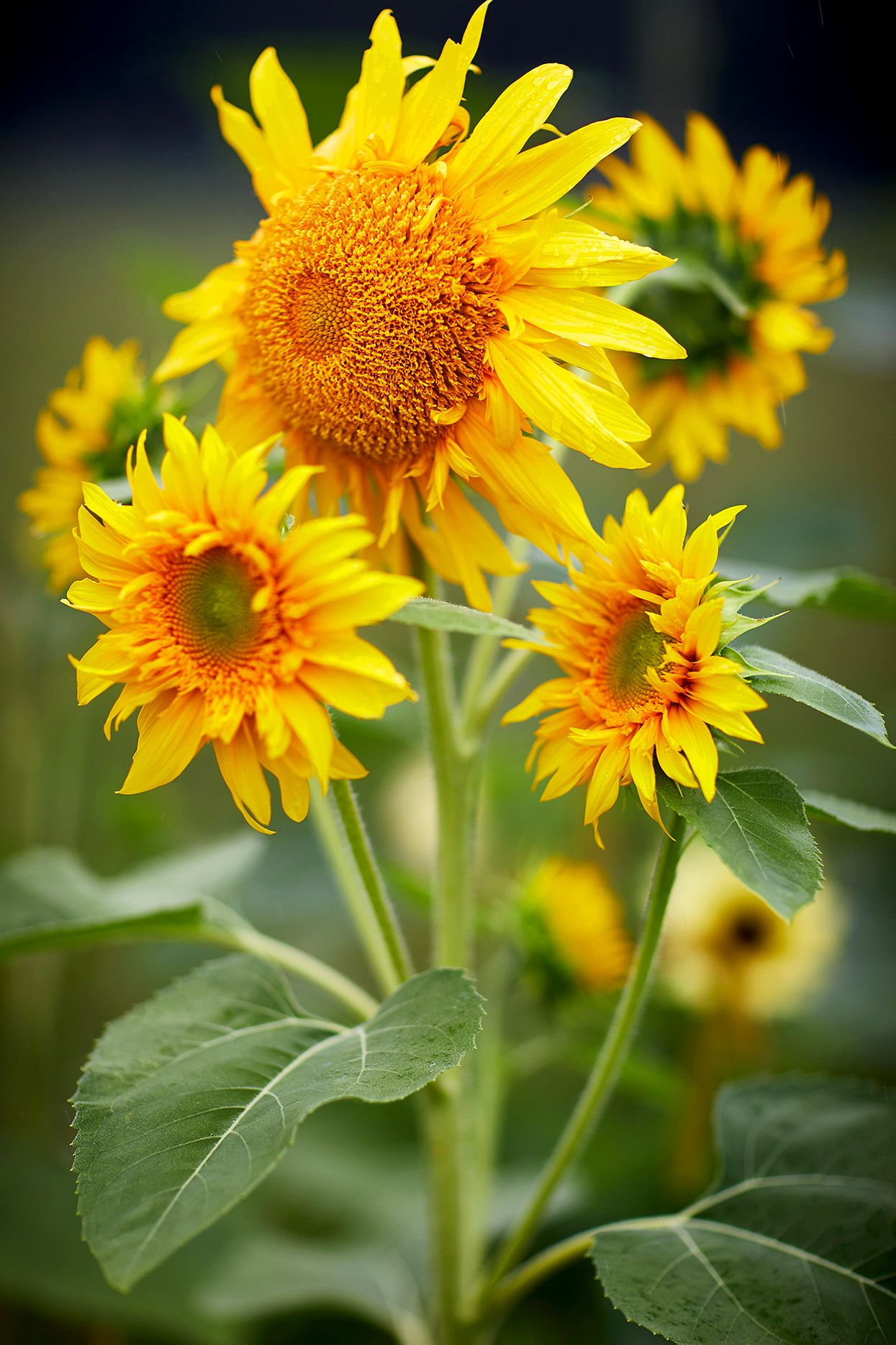 The Ultimate Guide To Growing Super Sunflowers Growing