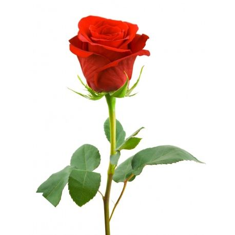 Single Red Rose Long Stem Delivery Single Red Rose Hybrid Tea Roses Beautiful Roses