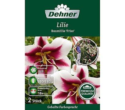 Dehner Premium Blumenzwiebel Lilie \'Baumlilie Friso\'   Garten ...