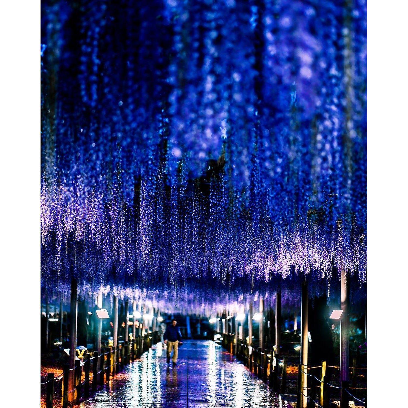 Purple Rain Wisteria, 東京カメラ部 Editor's Choice:hayabusa_tetsuya