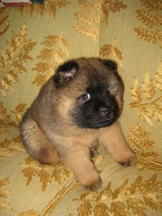 Most Adventurous Part Of The Play Is Going On Chow Chow Puppy