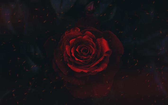 Scarica Sfondi Rosso Rosa Arte Sfondo Nero Bocciolo Di Rosa