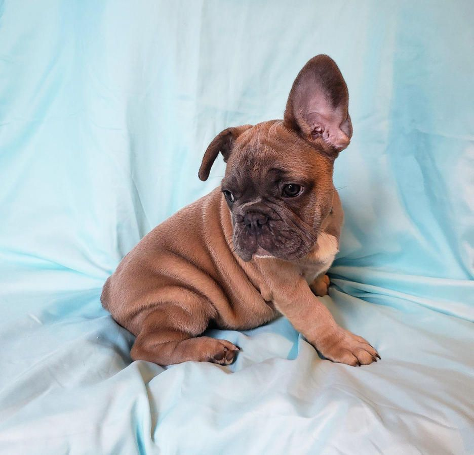 Beautiful Frenchiez French Bulldog French Bulldog Puppies
