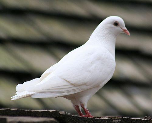 تفسير الحمامه البيضاء في الحلم رؤية الحمامه البيضاء في المنام White Pigeon Black And White Birds White Doves