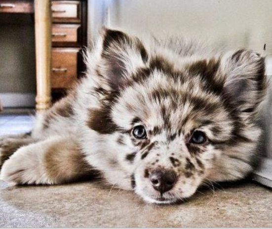 Pomeranian Australian Shepherd Mix Cute Animals Puppies Animals