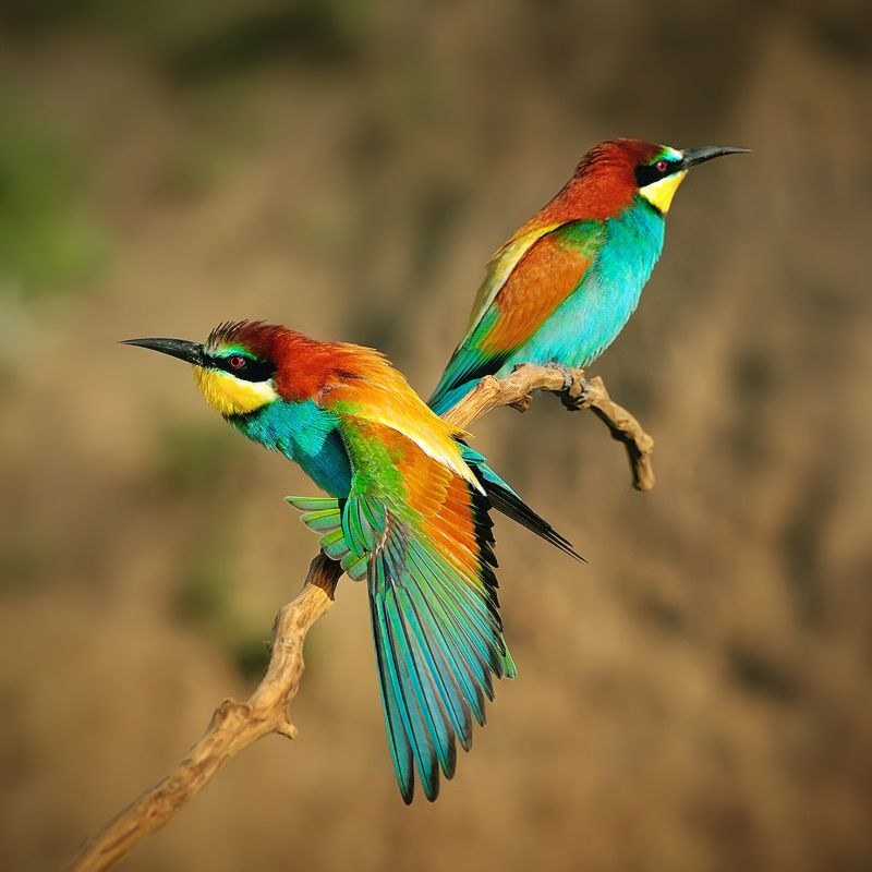 European Bee-eater by Denis Krivoy on 500px