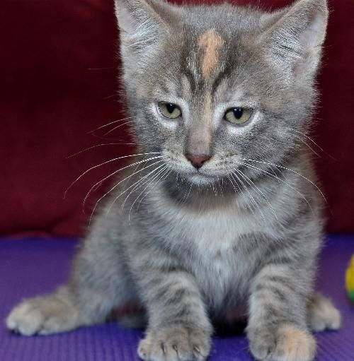 Adopt Firestar On Cat Adoption Cats Animals