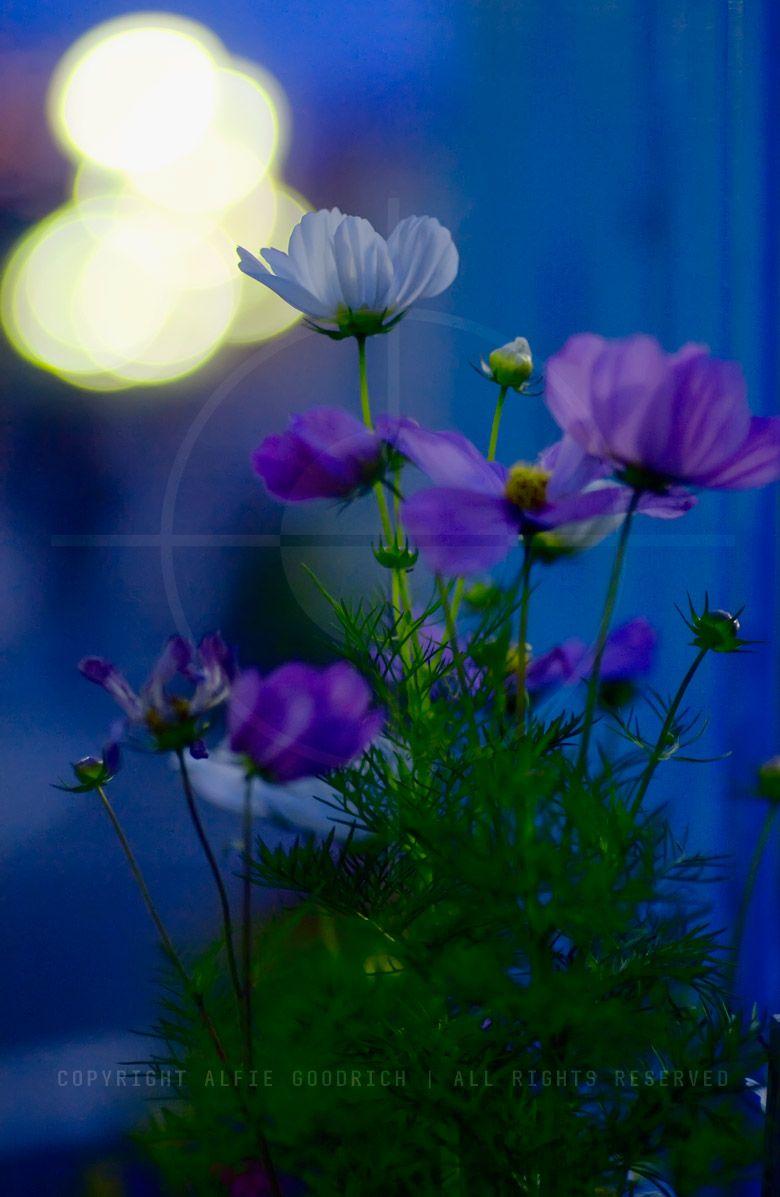 Night flowers bokeh minami oi tokyo bokeh pinterest bokeh night flowers bokeh minami oi tokyo izmirmasajfo