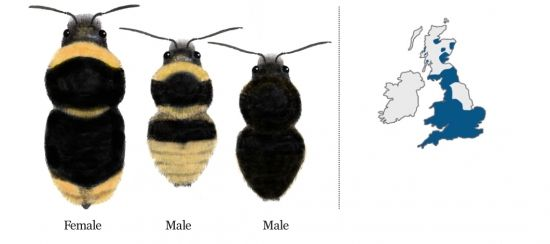Identification chart for less common Bumblebees Bumblebee
