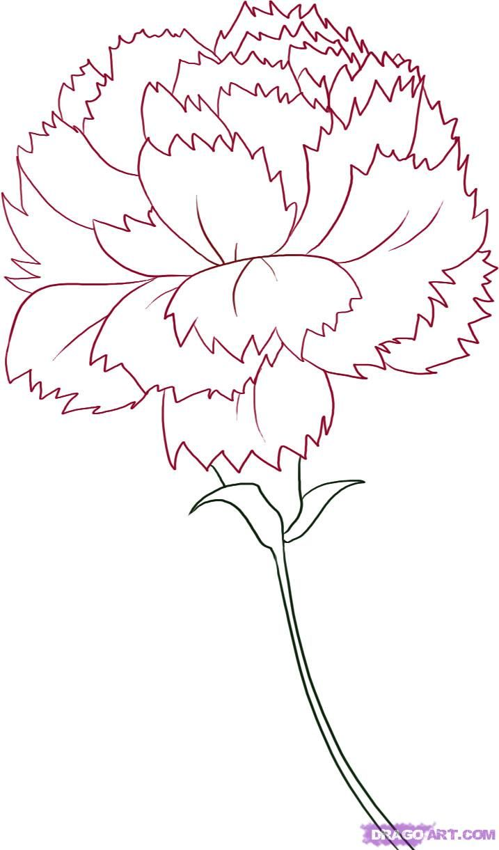 Pink Flower Line Drawing : Carnation flower drawing how to draw a step