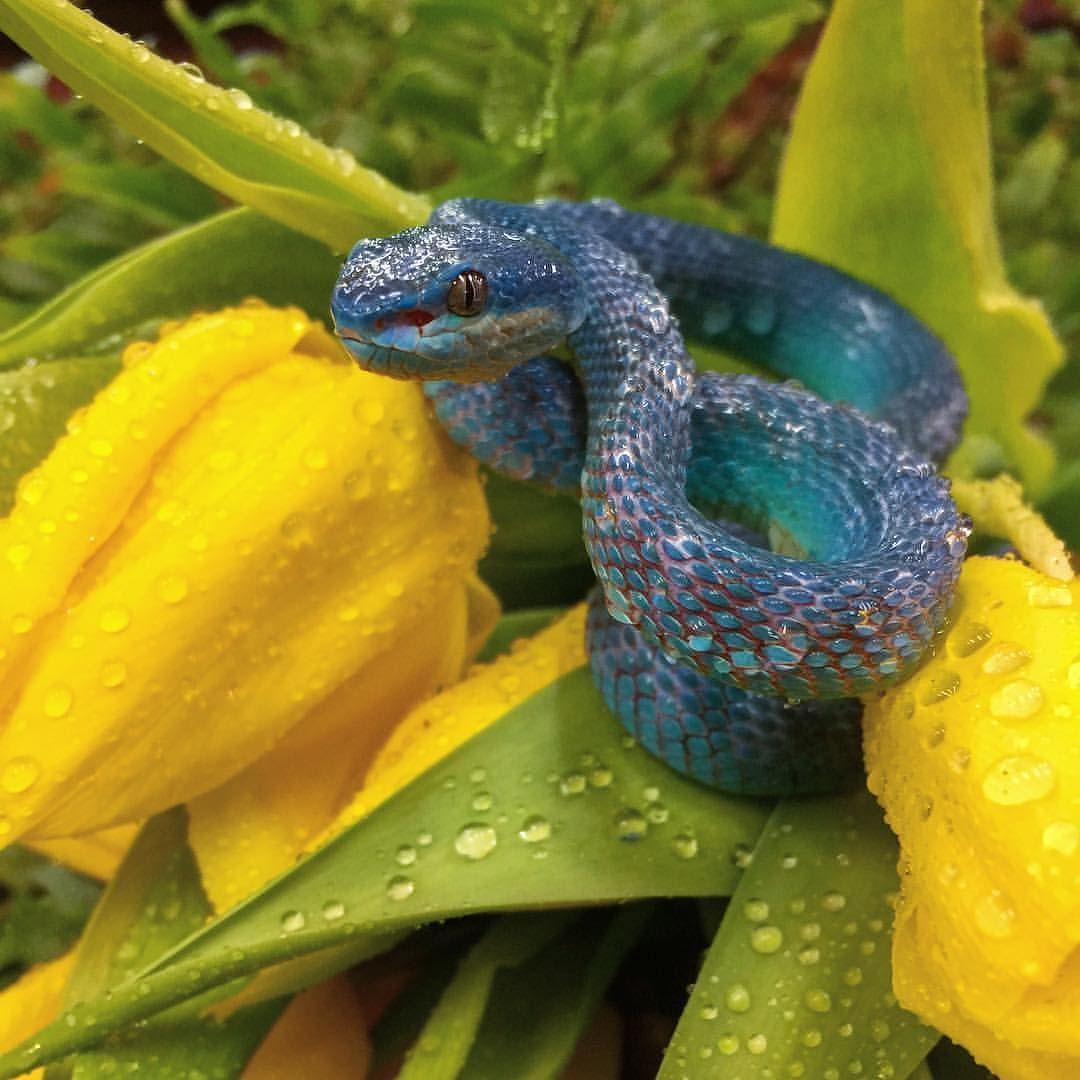 Awesome blue viper (Trimeresurus insularis)  #trimeresurus