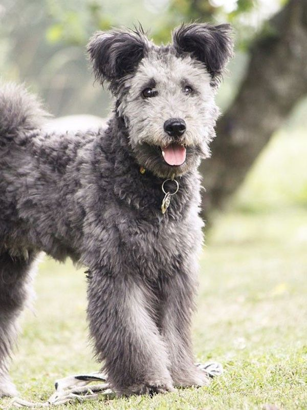 Pin by Kitani Hunter on Who Let the Dogs Out!?! Pumi dog
