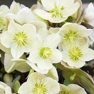 les plantes qui fleurissent en hiver ceramique mortuaire contemporaine jardins plante hiver. Black Bedroom Furniture Sets. Home Design Ideas