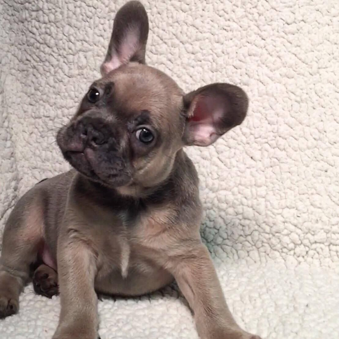 blue sable fawn male french bulldog | blue french bulldog