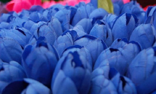 Gambar Bunga Cantik Warna Biru Arti Dan Makna Bunga Tulip Berdasarkan Warna Bibitbunga Com Berniat Memberi Bunga Ma Blue Tulips Summer Garden Yellow Tulips