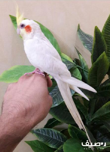 ذكر كروان اليف جدا Animals Bird Parrot