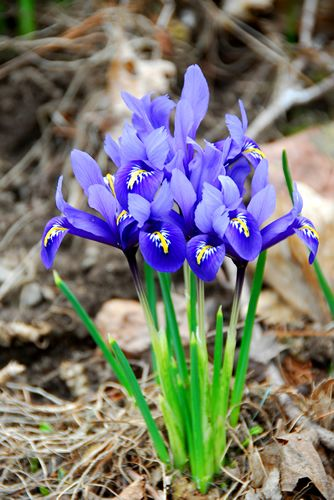 Orris Is Highly Prized As A Fixative And For Its Violet Like Scent Note Within Perfumery And The Dried Orris Root Is A Orris Root Oil Orris Oil Essential Oils