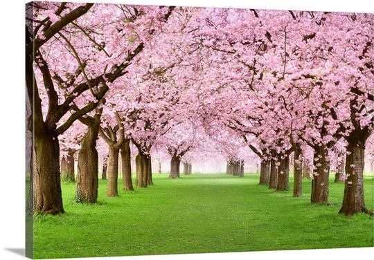 Gorgeous Cherry Trees In Full Blossom In 2021 Blossom Trees Cherry Blossom Tree Cherry Tree