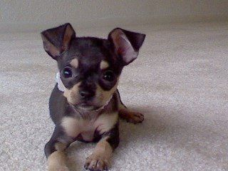 I Will Be Even Cuter When My Ears Stand Up If It Is Possible To