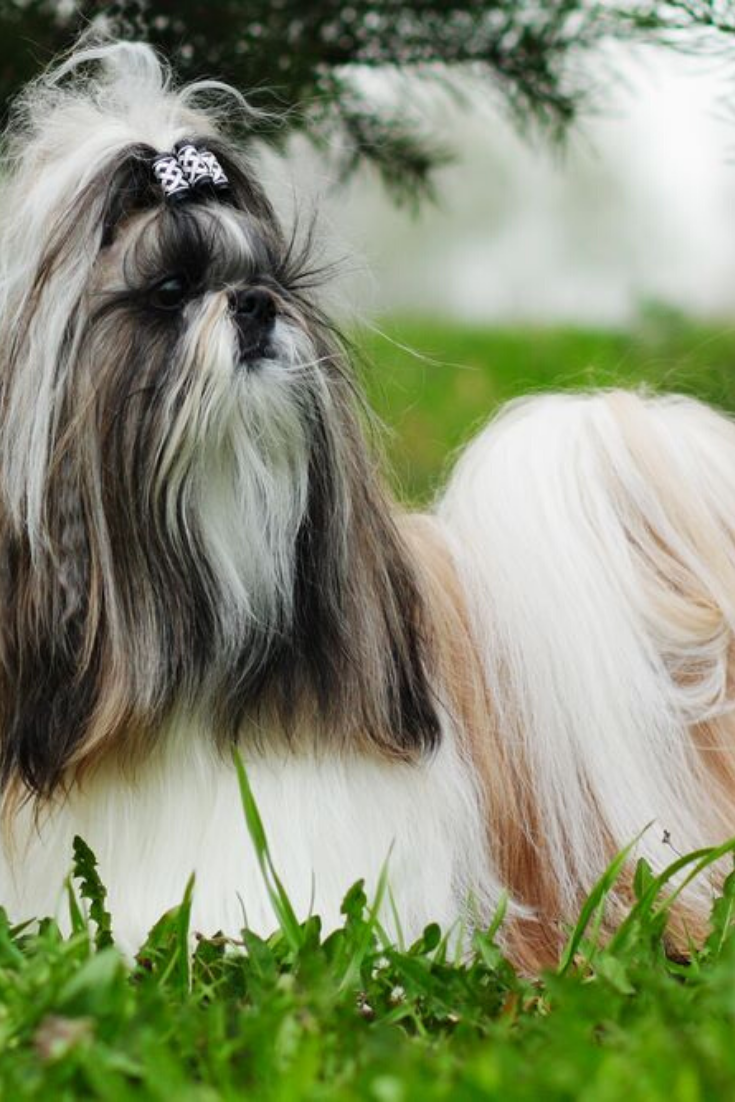 Beautiful Decorative Dog Breed The Shih Tzu Is In The Summer Outside In Full Growth A Glamorous Companion For Girls And Family Shih Shih Tzu Dogs Dog Breeds