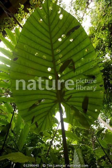 Sunlight throught a Giant Elephant Ear plant leaf (Alocasia sp.) tropical rainforest, Borneo, July 2007 ASIA,HABITAT,LEAVES,PATTERNS,SOUTH EAST ASIA,TROPICAL RAINFOREST,VERTICAL Tim Laman #elephantearsandtropicals