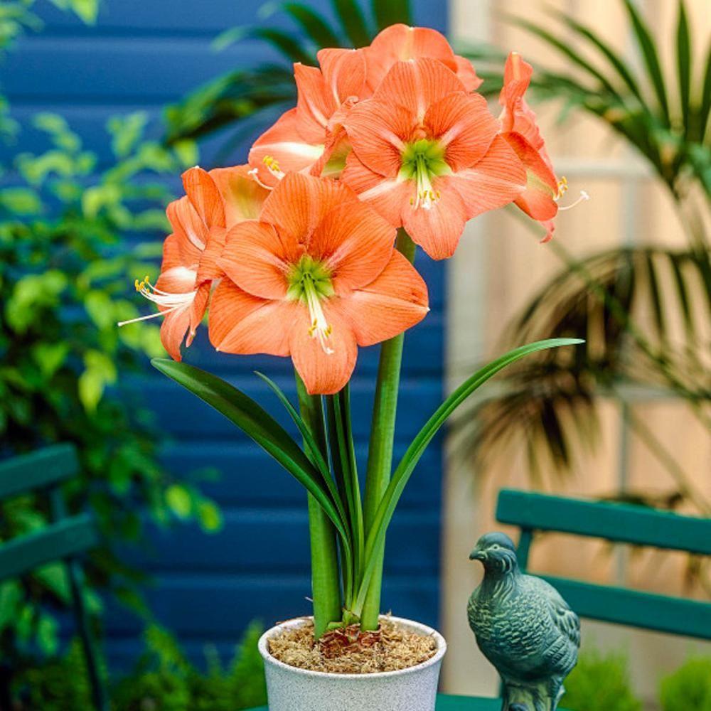 Breck S Nagano Amaryllis Hippeastrum Bulbs 3 Pack 05218 The Home Depot Bulb Flowers Amaryllis Bulbs Amaryllis Flowers