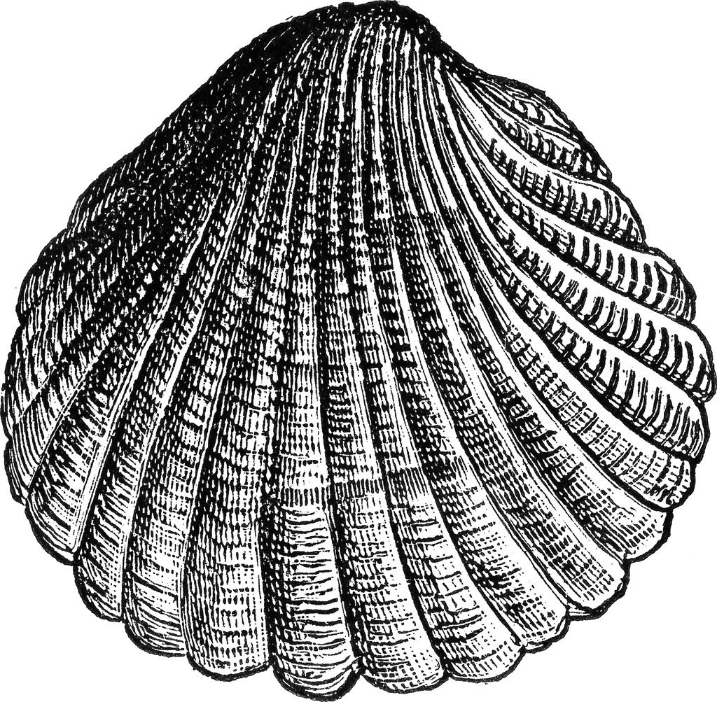 Http 2 Bp Blogspot Com 2iwhqd8elyo T8tpc3rr50i Aaaaaaaafpk 5dedgsf8mk8 S1600 Free Vintage Digital Stamp Sea Shell N Digital Stamps Sea Shells Heart Clip Art