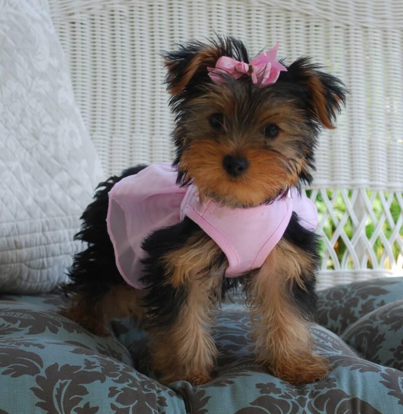 Ajjls Yorkies Yorkie Puppies For Sale Yorkie Puppy Yorkie