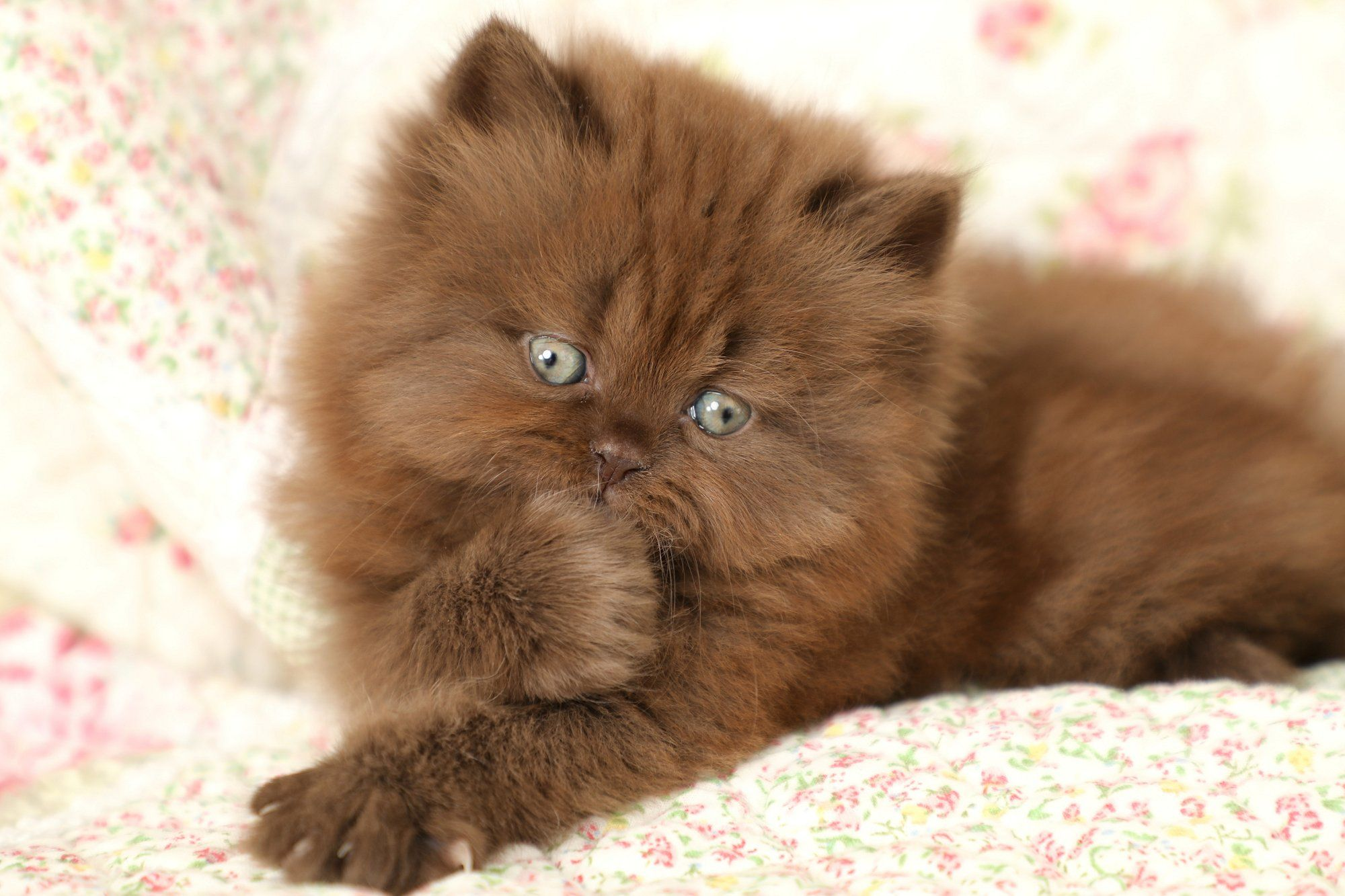 Kisses Chocolate Persian Kitten For Sale Doll Face Persian Kittens The Most Trusted Name