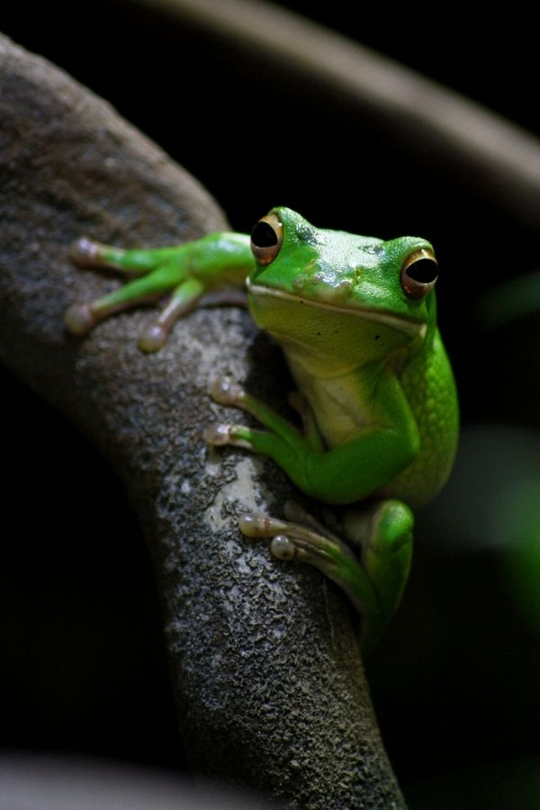 Green Tree Frog Tree Frogs Green Tree Frog Frog