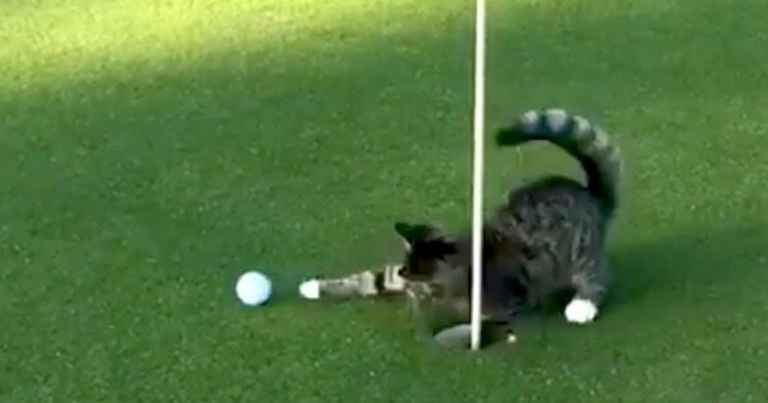 Watch The Golf Cat That Won T Even Let Tiger Woods Hole A Putt Tiger Woods Cats Putt Putt