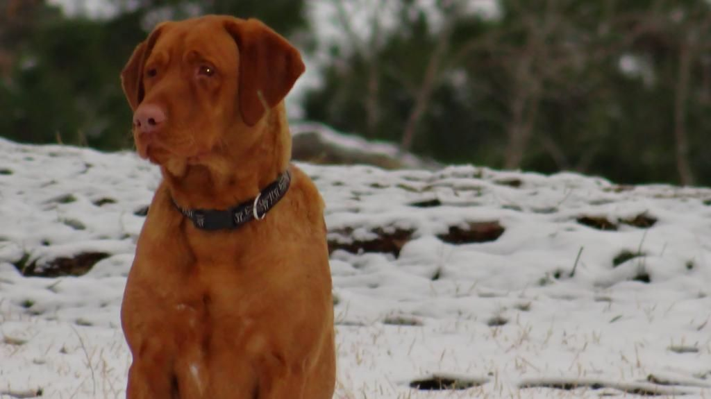Red Dudley Labrador Retriever In The Snow In East Texas