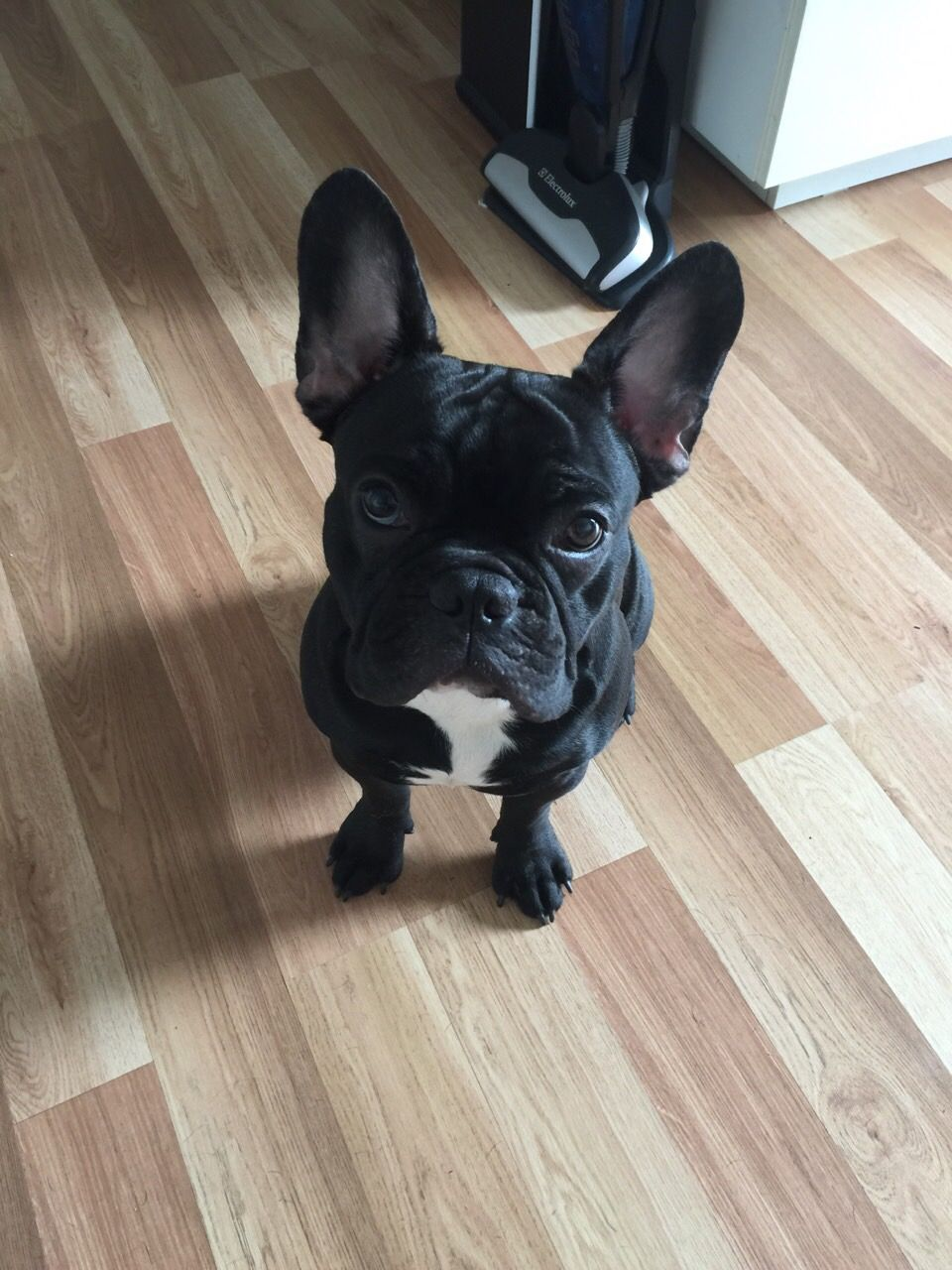 French Bulldog Puppy Smaller Version Of Lulu Just With Big Ears