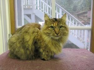 Adopt Lark On Bainbridge Island Petite Girls Cats