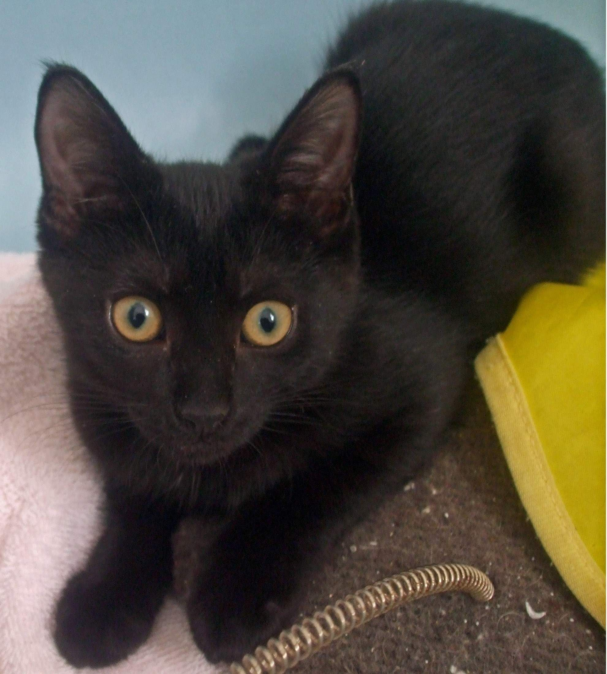 Adopt a black cat for free on national appreciation day