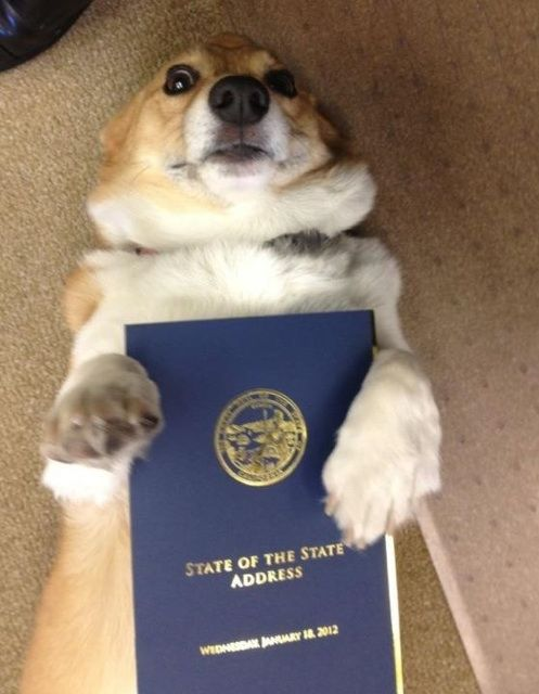 Sutter Brown The First Dog Of California With Governor Jerry Brown S State Of The State Corgi Corgis Gonna Corg Corgi Pictures