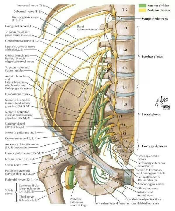 Netter pelvic nerve roots | Professional | Pinterest | Nervous ...