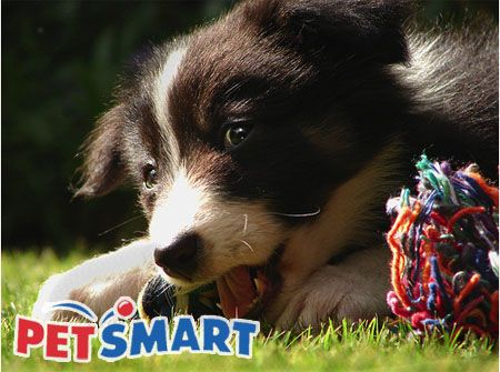 Petsmart Ad Featuring Border Collie Puppy Puppies Petsmart Grooming Petsmart