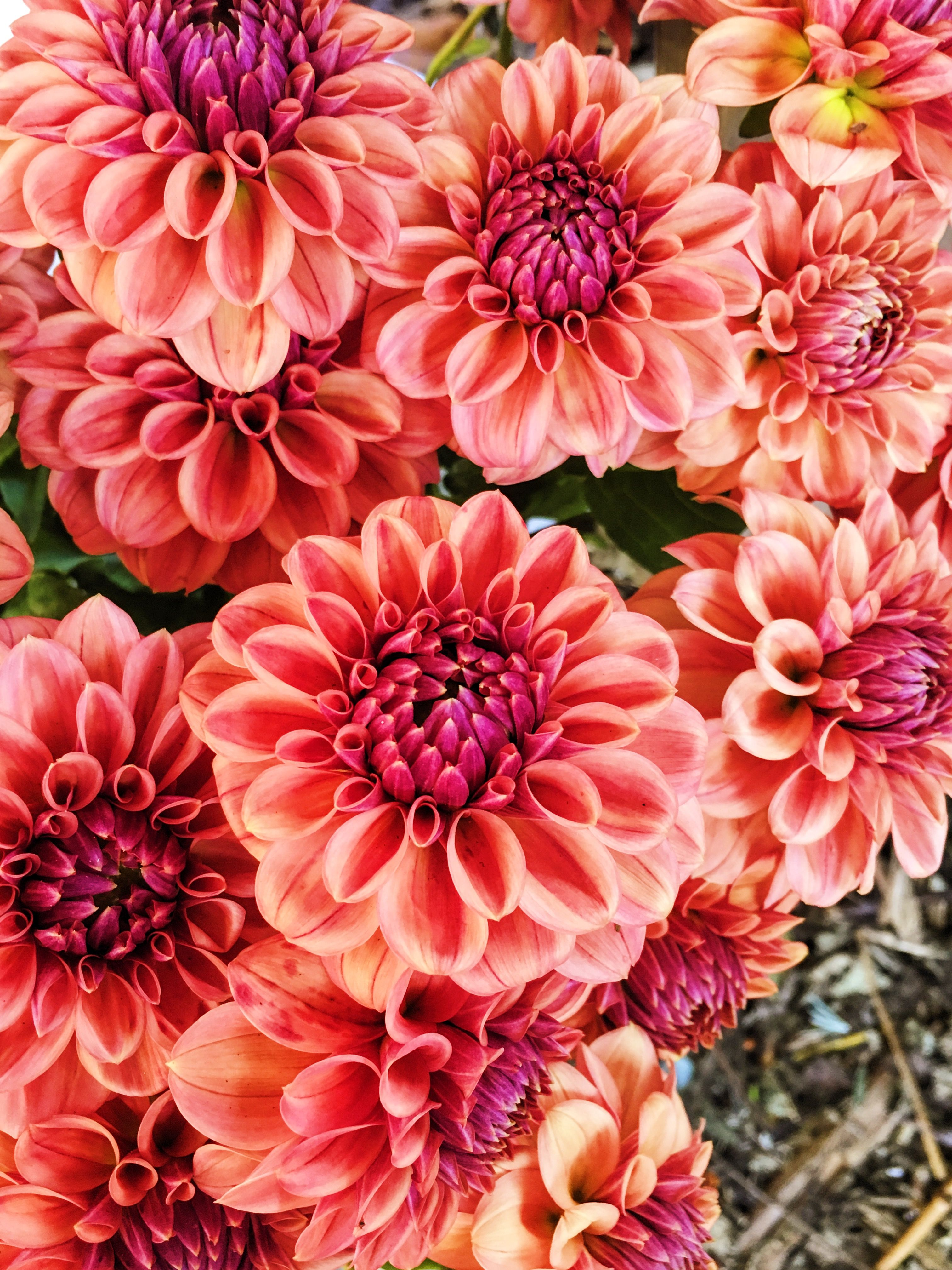 How About This Persimmon Hue As An Accent Color Pairs Well With Gold Dahlias Grown By Love N Fresh Flowers August Flowers Amazing Flowers Beautiful Flowers