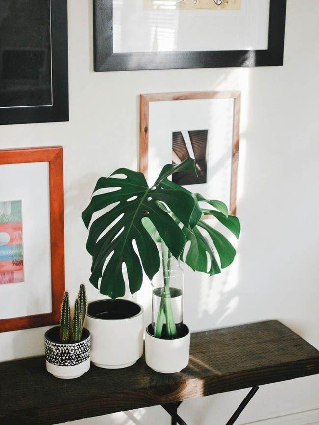 Hoy quiero enseñaruna planta de la cual llevo detrás bastante tiempo, se trata de la Monstera Deliciosa o también conocida comoCostilla de Adán, a ver cuándo me hago con una!! Una planta que segu...