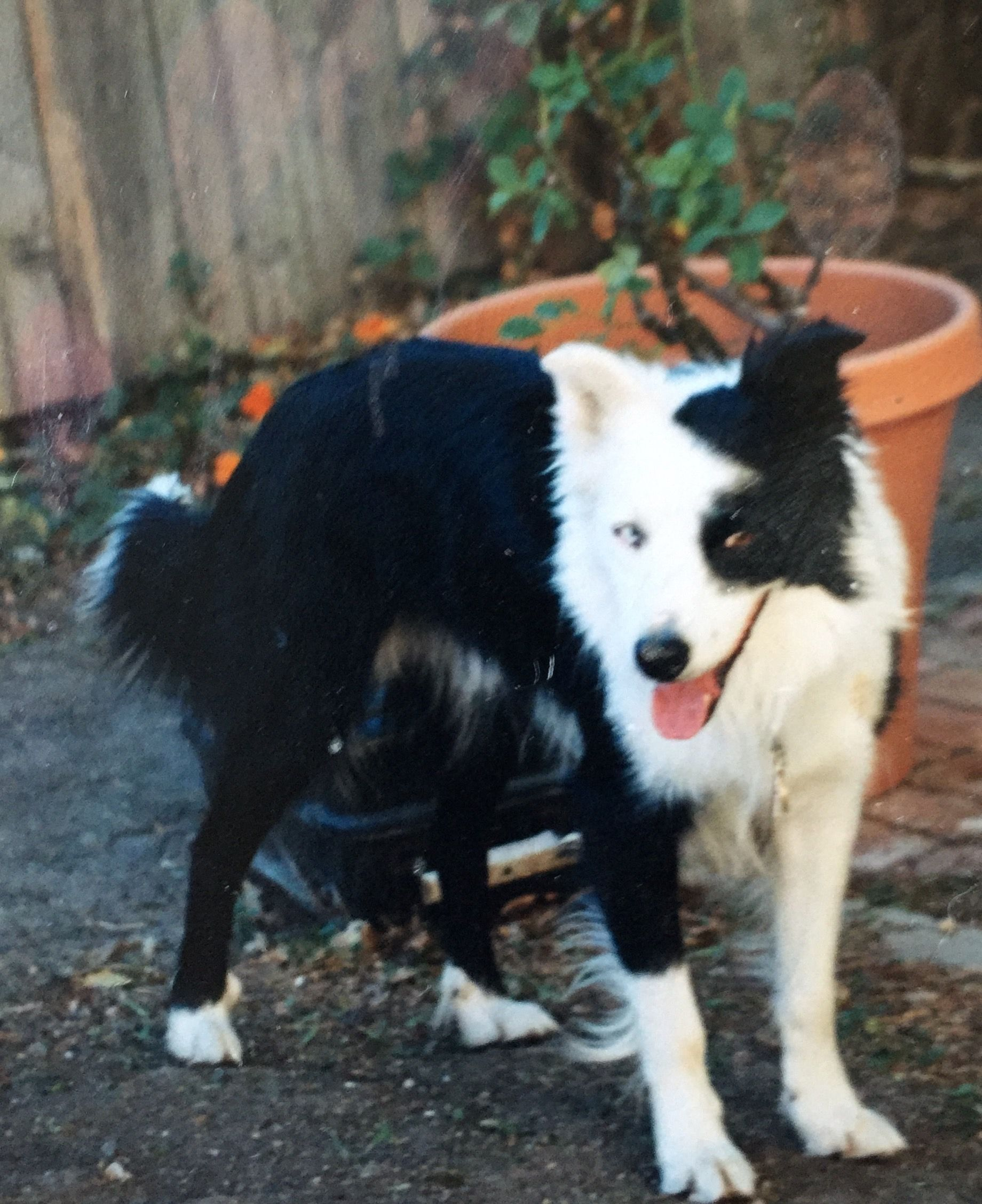 Pin On Border Collies Our Ranch Dogs