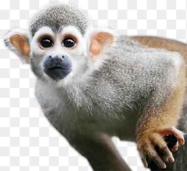 Squirrel Monkey Png Monkey Png Transparent Free Images Png Only 382 350 Png Download Free Transparent Background Squirrel M Squirrel Monkey Monkey Drupal