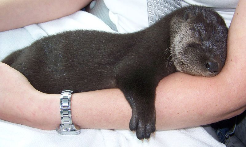 Baby otter - seriously so stinking cute!