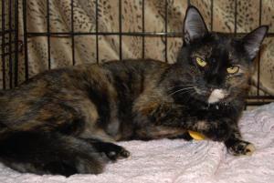 Adopt Angel On Cat Adoption Tortoise Shell Cat Cats