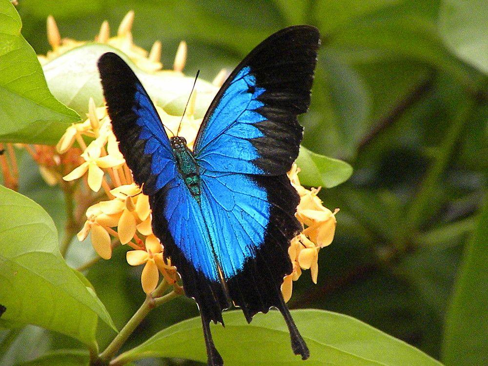 Dunk Island Animals: Butterfly Dunk Island Blue - Google Search