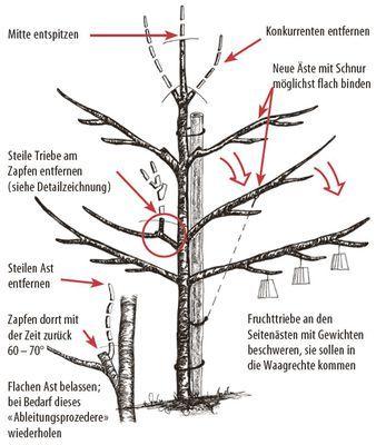 Obstbaumschnitt - die 10 wichtigsten Tipps und Regeln