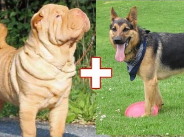 10 Adorable Dog Breed Mashups You Never Knew Existed Cute Dogs Breeds Dog Breeds Mixed Breed Dogs