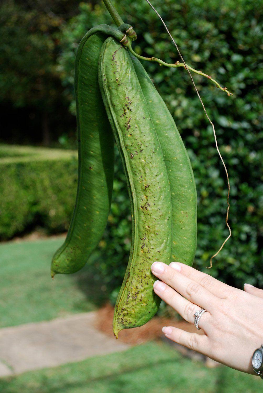 NEW 5 seeds Giant RED Jack Bean Canavalia gladiata sword bean Rare Unique