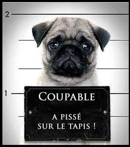 Images Le petit chien coupable Images drôles Blague en image sur  Humour.com: | Chien coupable, Blagues en images, Drôle